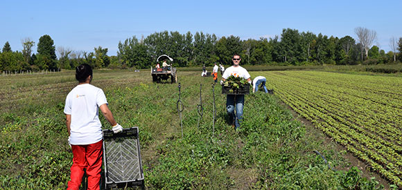 Stantec employees help with the harvest at Black Family Farm