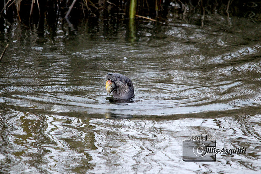 Otter in the Jackson Trails pond. November 2015. Photo by Jacinta Cillis-Asquith.