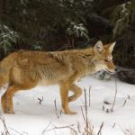 Presentation – living with coyotes in an urban environment