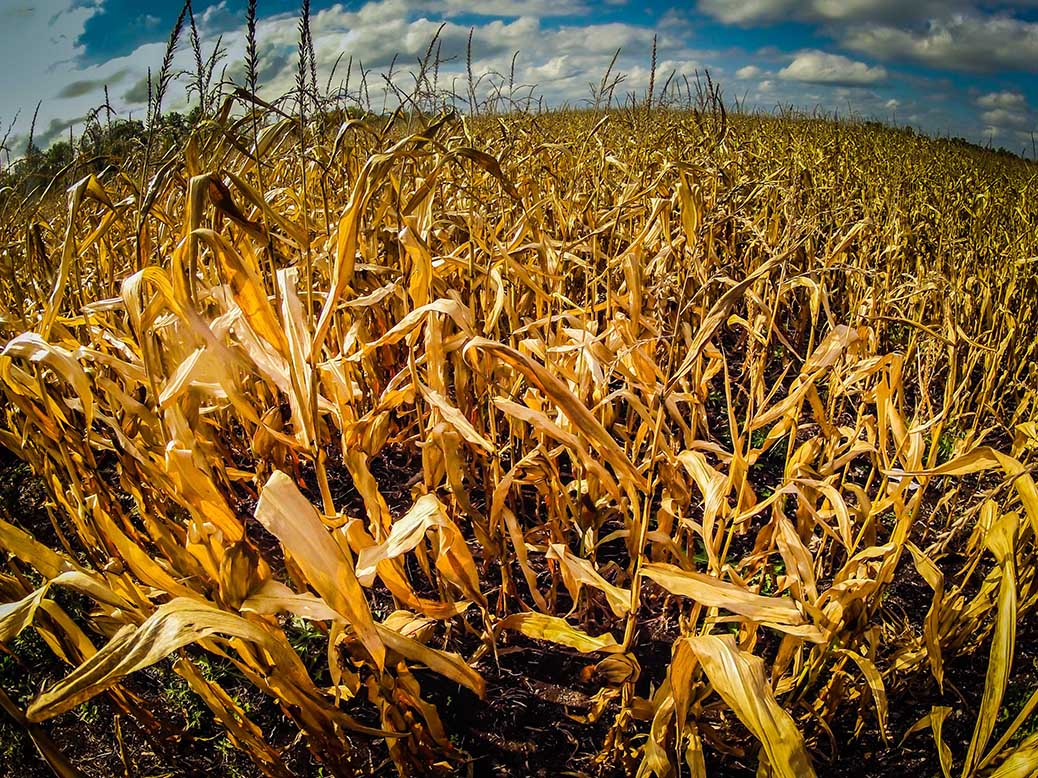 Cornfield south of Stittsville. Photo by Barry Gray