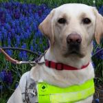 Canadian Guide Dogs for the Blind and WestJet team up for 'gift of flight' raffle
