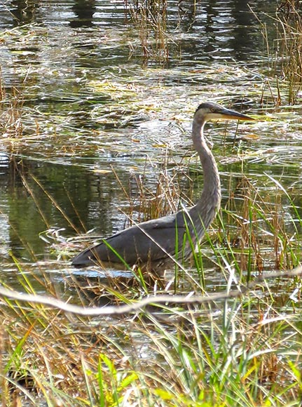 Heron in Beaver Pond by J. Mason