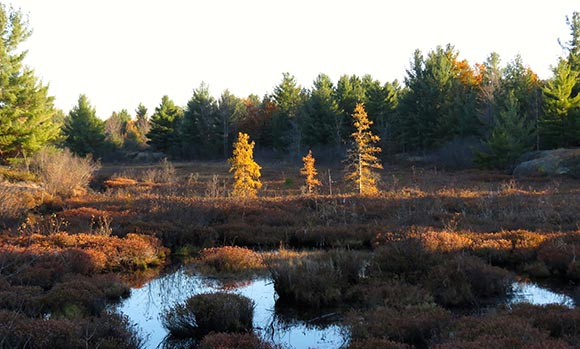 Larch Trees in Fen on Carp Barrens by J. Mason