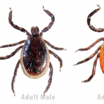 Black legged or deer ticks on the rise in Eastern Ontario
