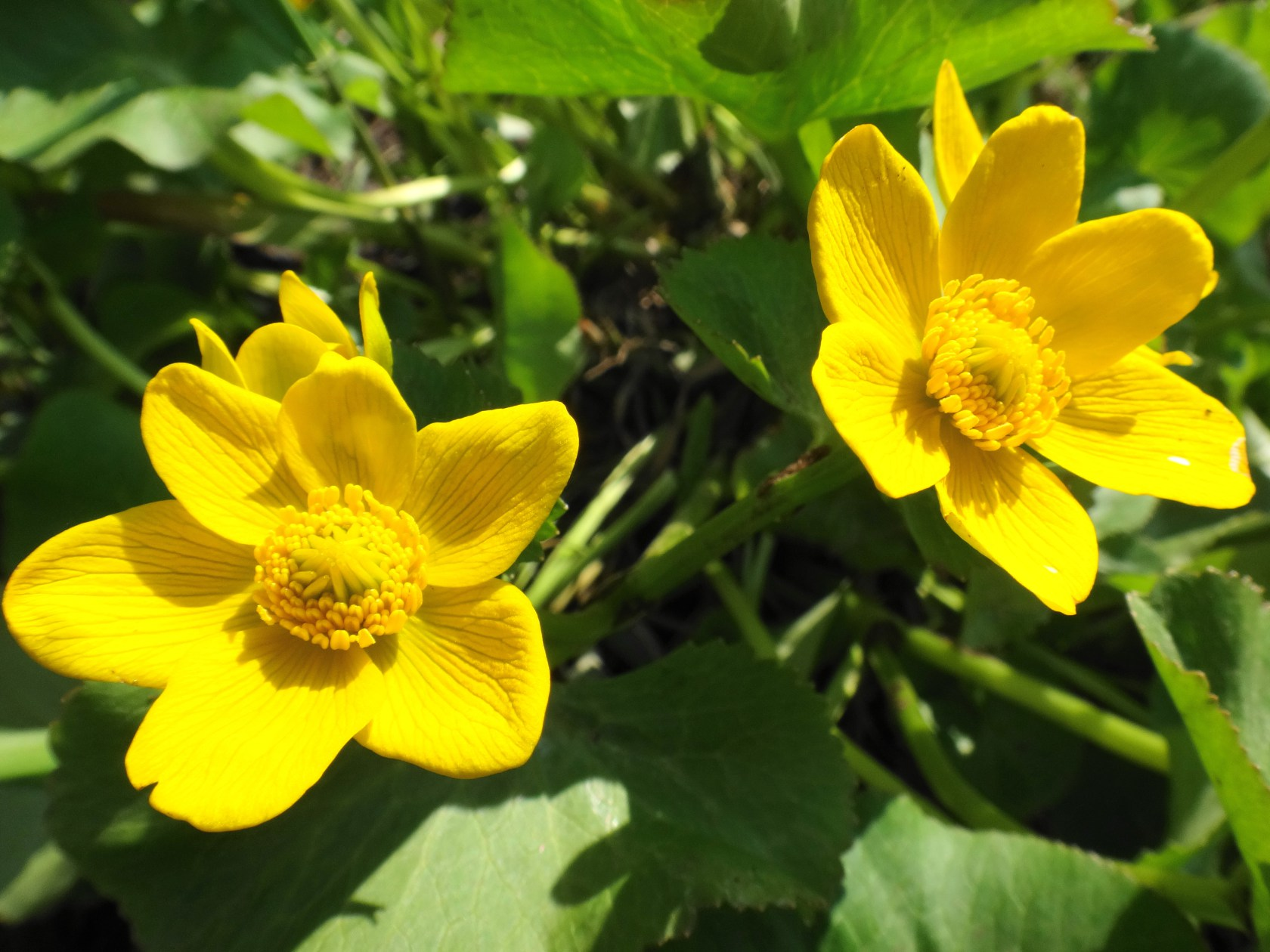 Marsh Marigold Along Upper Poole Creek. Photo by Nick Stow.