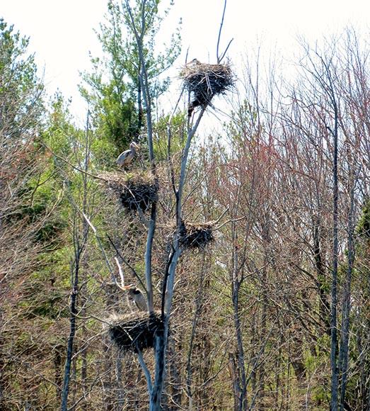 Nesting Herons by J. Mason