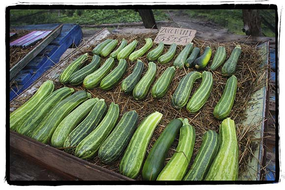 PAZAB FAMILY FARM, August 3, 2015.    Zucchini from small to large.  Barry Gray (For StittsvilleCentral.com)