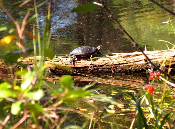 Painted Turtle by J. Mason