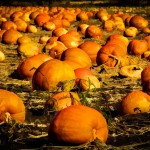 PHOTO: Lots of pumpkins