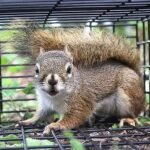 Live trapping and relocation: A band-aid solution