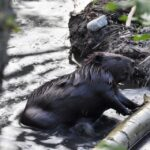 The Stittsville wetlands beaver family may not survive if moved