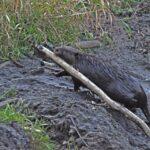 City of Ottawa needs to stop killing beavers