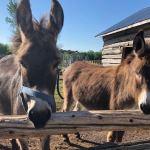 Donkeys prove to be a 'hoof full' at Sultan's Farm Sanctuary