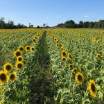 Sultan Farm Sanctuary – tour the sunflowers and support the animals