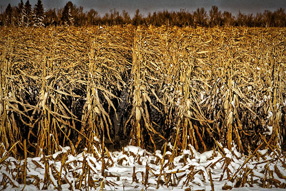 Uncut corn on Flewellyn Road. Photo by Barry Gray.