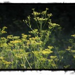 CBC: Stittsville farmers lose crops, cry foul over wild parsnip purge