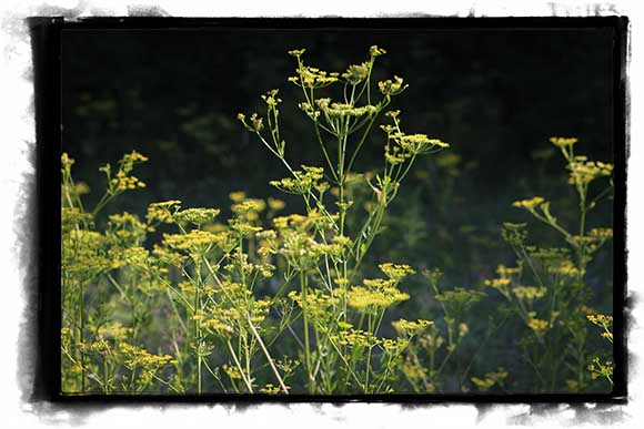 Wild parsnip growing along the ditch on Huntley Road south of Stittsville. Photo by Barry Gray.