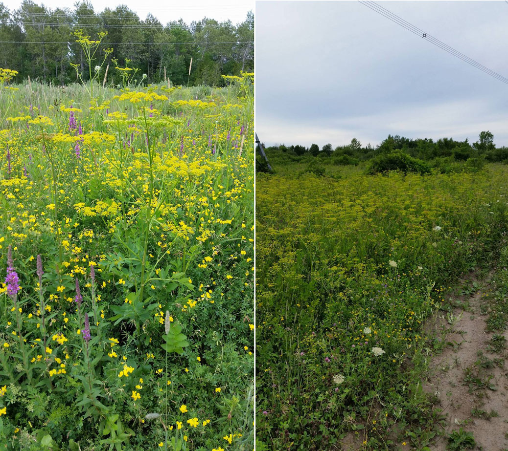 Wild parsnip south of Abbott Street. Photos by Jonathan Seguin