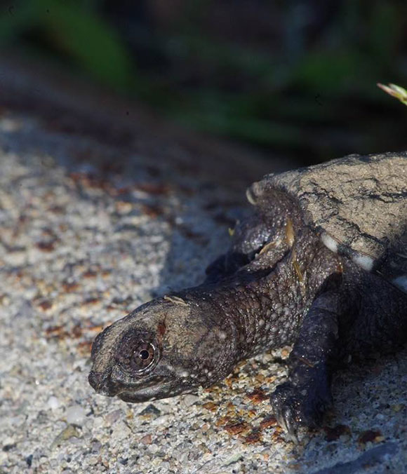 Baby Snapping Turtle. Photo courtesy of CPAWS Ottawa Valley.