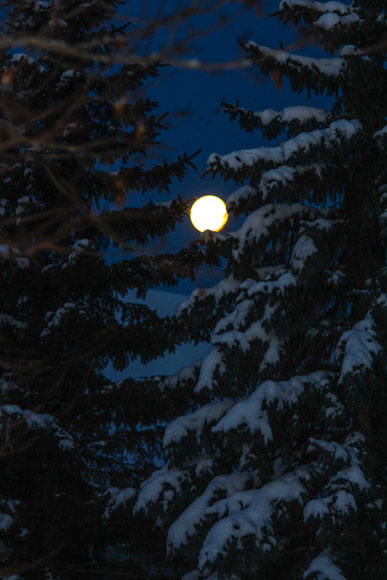 Febraury 5, 2015.  Full moon sets through snow covered pine trees. Photo by Barry Gray.