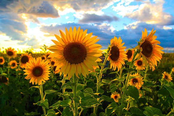 Sunflowers off Carp Road. Photo by Barry Gray.
