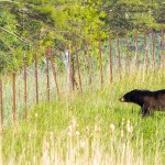 PHOTOS: Black bear near Hazeldean and Jinkinson