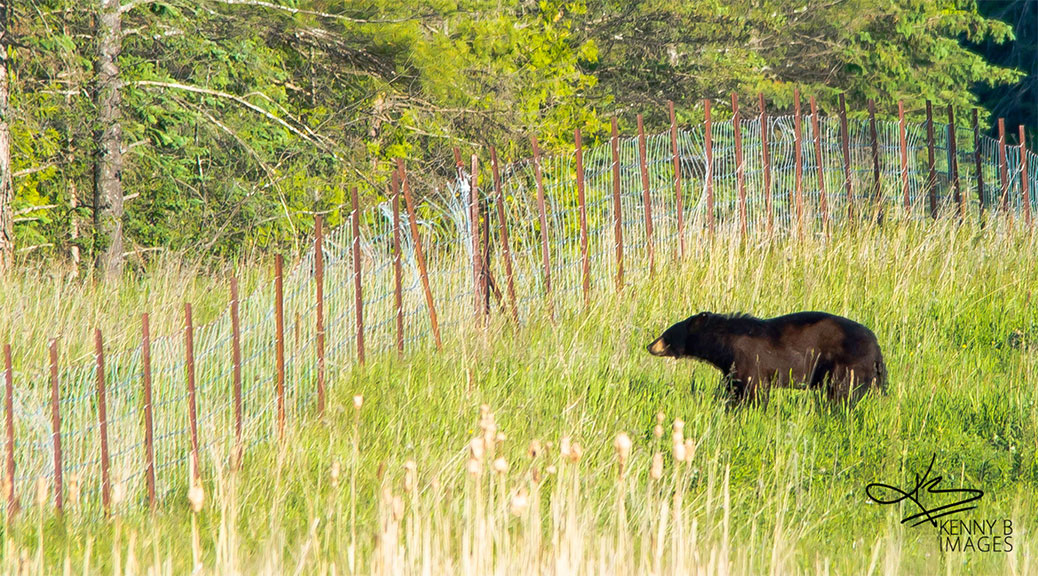 Black bear near Hazeldean Road and Jinkinson Road, June 4, 2015. Photo by Kenny B Images.