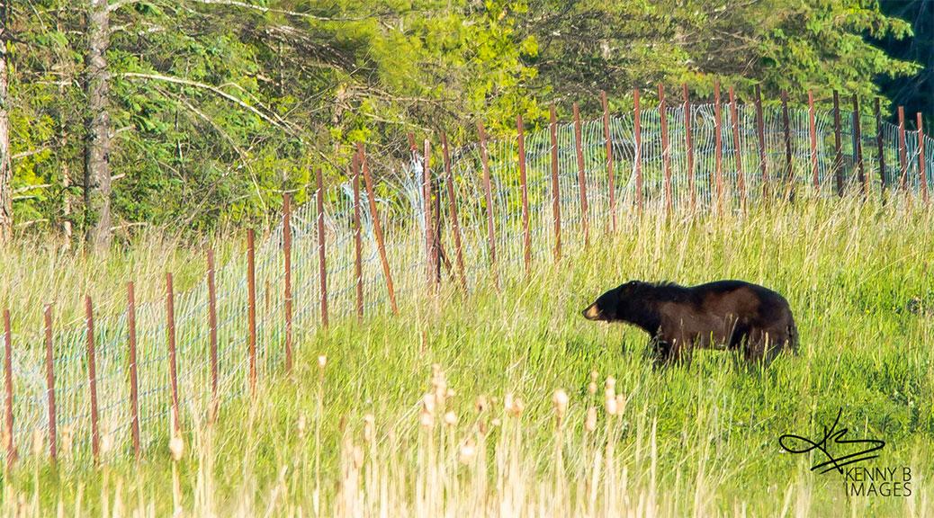 Black bear near Hazeldean Road and Jinkinson Road, June 4, 2015. Photo by Kenny B Images.