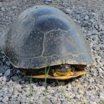 Blanding's Turtle habitat to be affected by Potter's Key development