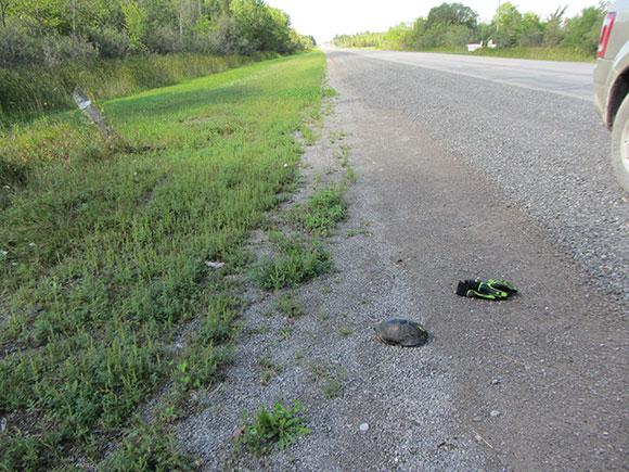 Blanding's Turtle along Hazeldean Road. Photo by Ken McRae.