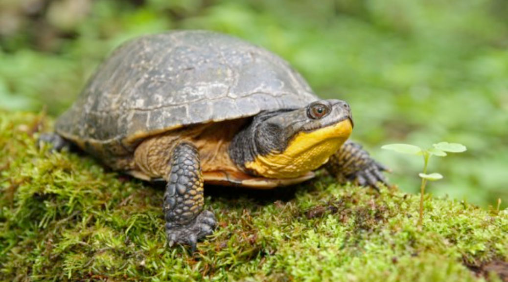 The Blanding's Turtle is one of the species at risk in the Kanata Lakes North land
