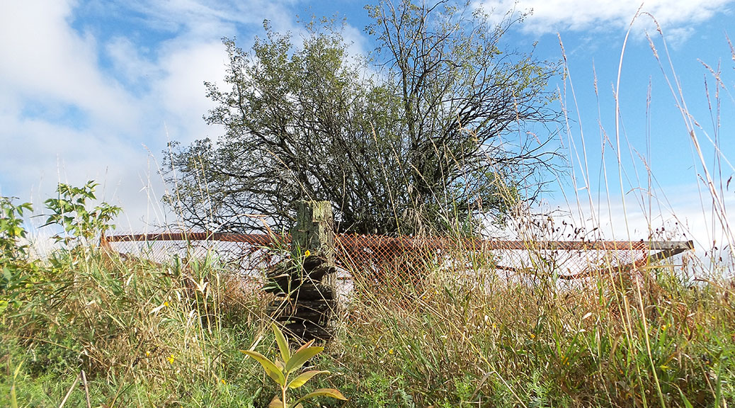 This tree south of Tanger Outlets led archeologists to a 19th century farm site. Photo by Glen Gower / September 2015