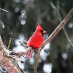 PHOTOS: Cardinal behind Riverbank Court