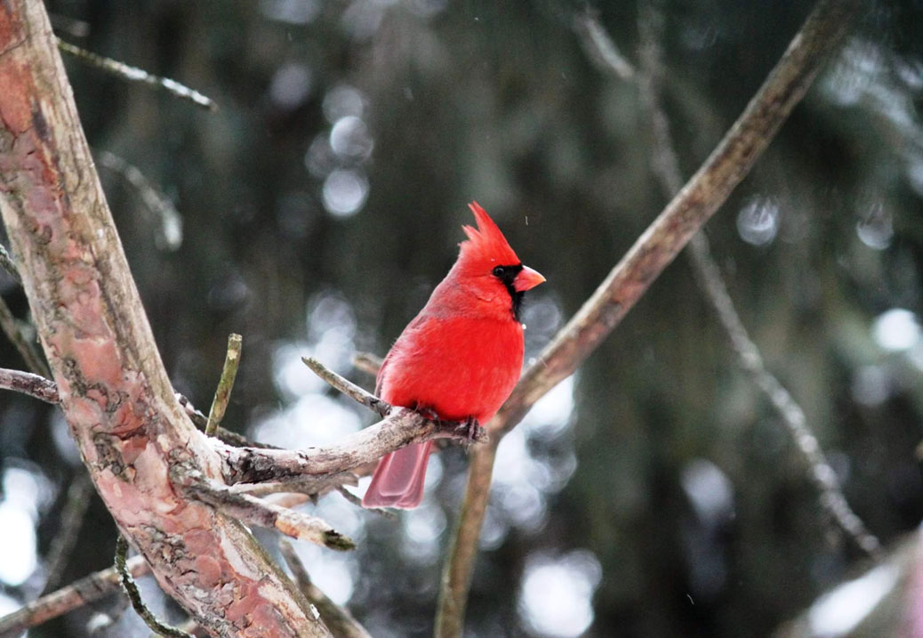 Kim De Angelis spotted this cardinal out her back window on Riverbank Court.