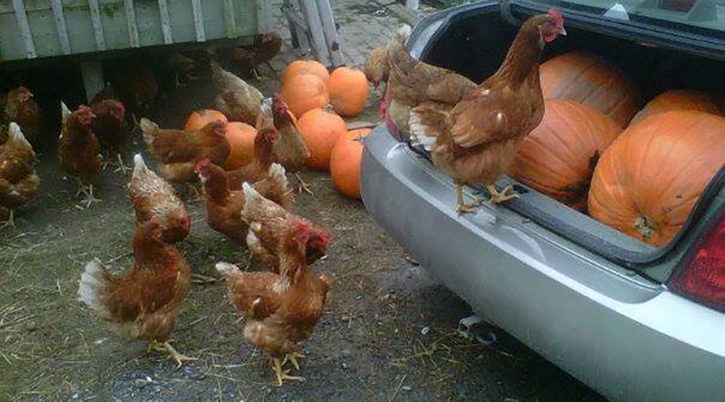 Chickens eating pumpkins. Photo via Rebecca Hanbidge