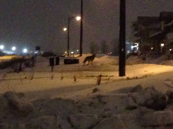 Coyote in the Fairwinds neighbourhood, near Khamsim street, mid-February.