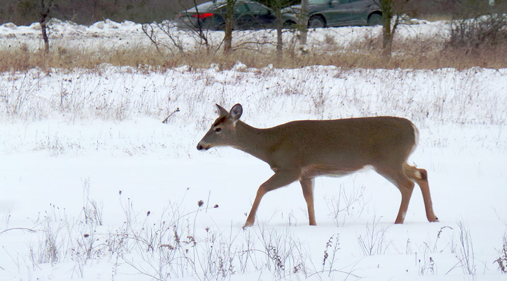 Deer in the Greenbelt between Kanata and Bells Corners. Photo by Glen Gower.