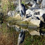 PHOTO: Heron on the Rocks