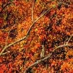PHOTO: Autumn tree on Hedgerow Lane