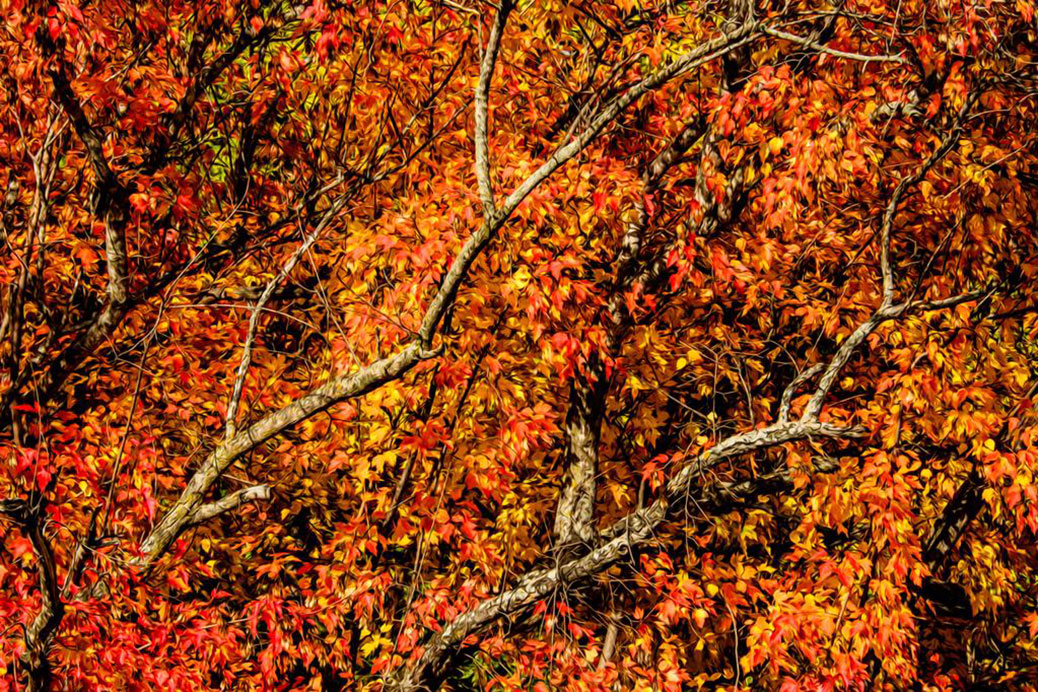 A tree in autumn colours - Hedgerow Lane, Stittsville. Photo by John Edkins.