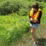 2021 Wild Parsnip program to begin May 25th: list of parks/areas affected