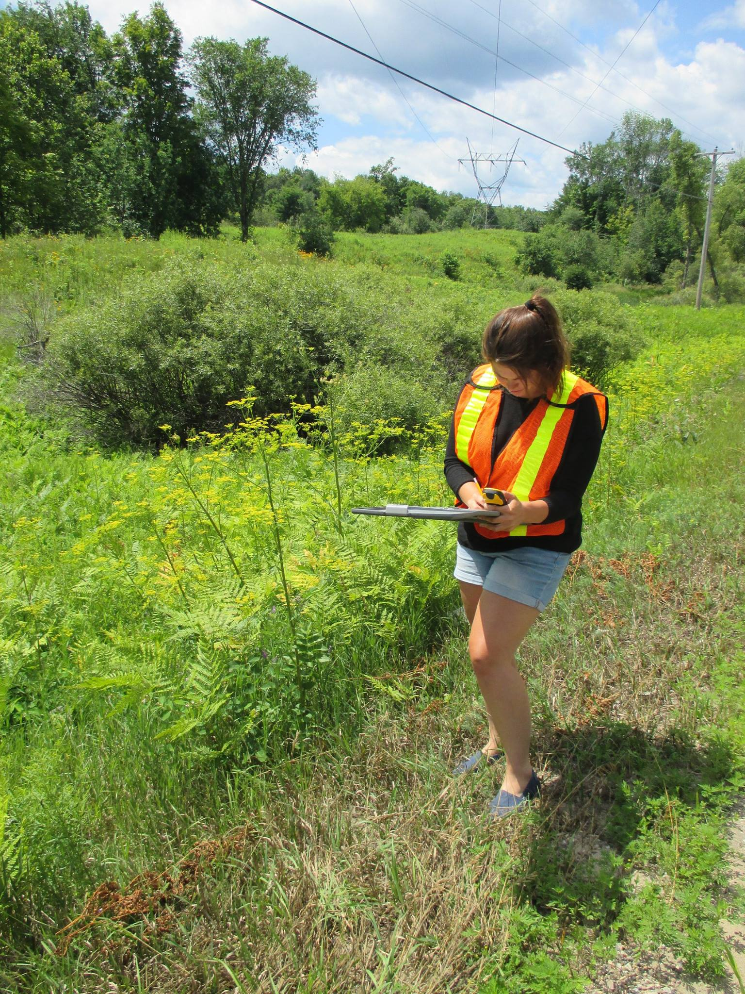 Hit Squad member Elizabeth Salter is reporting a wild parsnip sighting using the EddMapS Ontario app.  Photo via the MCVA Facebook page.