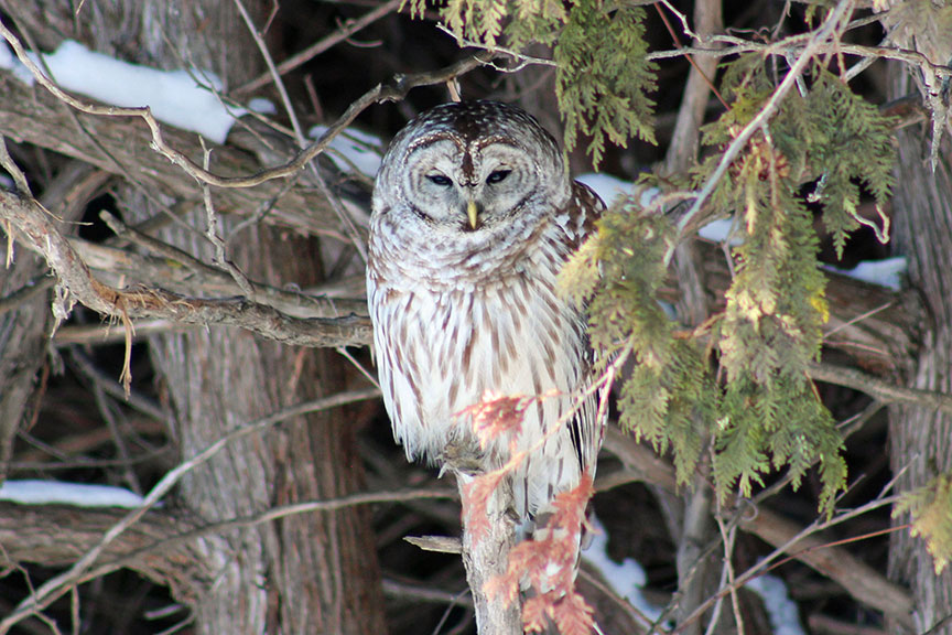 Owl in Fairwinds North, photo by Desiree McCarthy