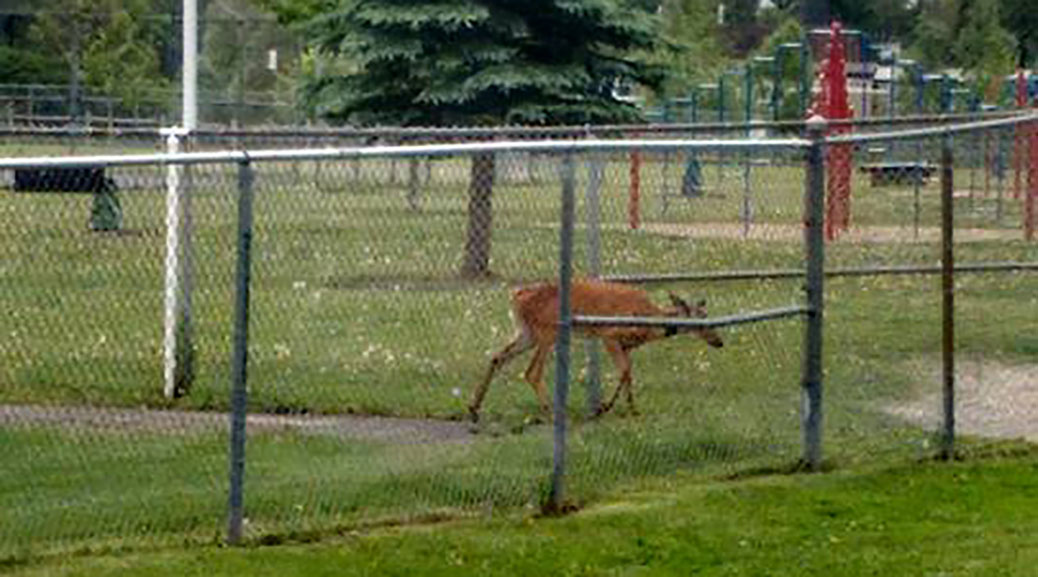 Deer in Glen Cairn. Photo by April Boomer, via Facebook.