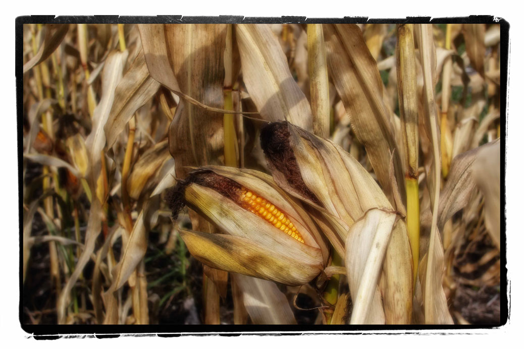 Corn left in the field. Photo by Barry Gray.