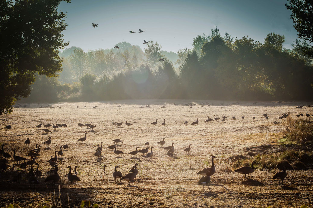 Geese in a field off Fernbank. Photo by Barry Gray.