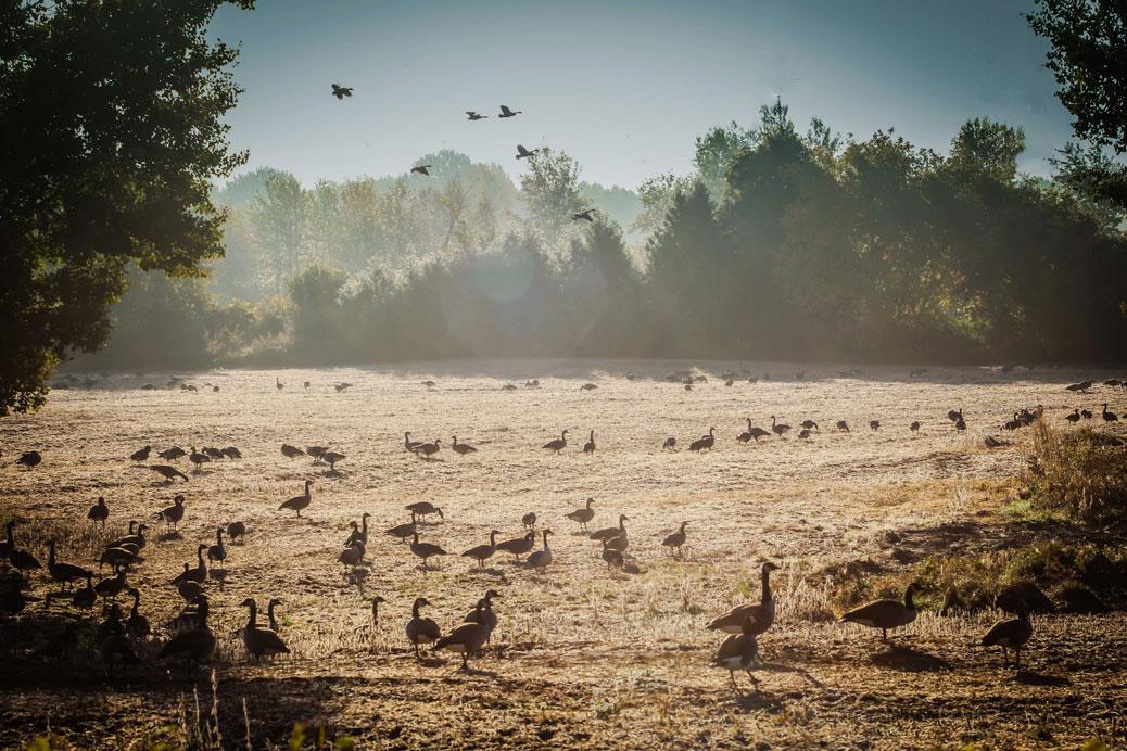 Geese in a field off Fernbank. Photo by Barry Gray.
