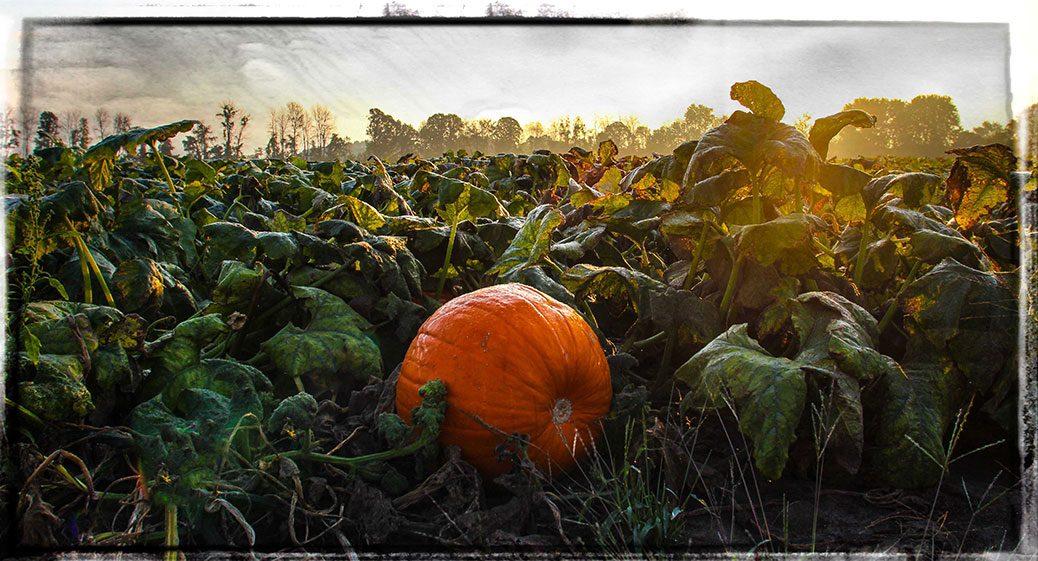 Pumpkin in a field / Photo by Barry Gray