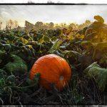 PHOTO: Pumpkin field