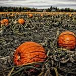 Where to find a pumpkin near Stittsville